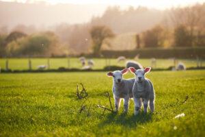 villanypásztor juhoknakvillanypásztor juhoknak
